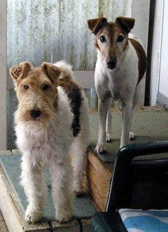 Wire and Smooth Fox Terrier